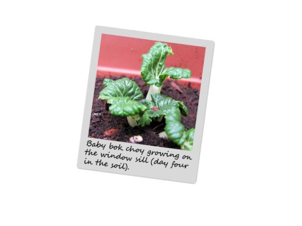 1-Bok choy in the soil